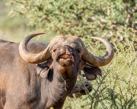 African Buffalo Portrait. Closeup portrait of an African Buffalo in Southern African savanna royalty free stock photography