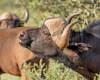 African Buffalo Portrait. Closeup portrait of an African Buffalo in Southern African savanna stock images