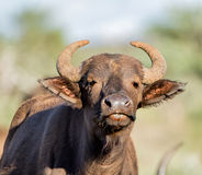 African Buffalo Portrait. Closeup portrait of an African Buffalo in Southern African savanna royalty free stock images