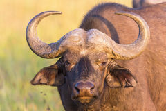 African buffalo portrait. African buffalo staring at you royalty free stock photography