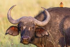 African buffalo portrait. Watchful African buffalo with a yellow-billed oxpecker on the back stock image