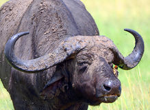 African buffalo and a red-billed oxpecker, Maasai Mara Game Rese Stock Photo