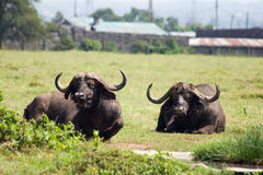 African buffalo resting in the grass Royalty Free Stock Image