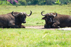 African buffalo resting in the grass Stock Photo