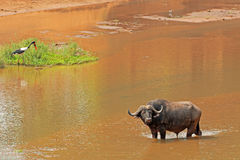 African buffalo in river Stock Photo