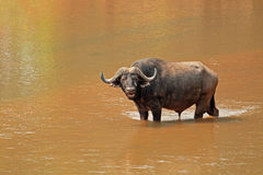 African buffalo in river Royalty Free Stock Image