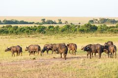 African buffalo on the savannah landscape Royalty Free Stock Photo