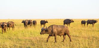 African buffalo on the savannah Royalty Free Stock Photography