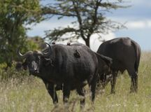 African Buffalo with several ox pecker birds on his back. Standing in green grass with trees in background. Masai Mara, Kenya, Africa stock photos