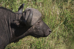 African Buffalo. Side profile of African buffalo at Kruger Park Royalty Free Stock Photos