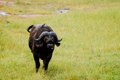 African Buffalo on the plains royalty free stock photo