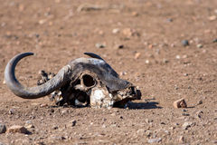 African Buffalo Skull at Kruger National Park, South Africa Stock Photo
