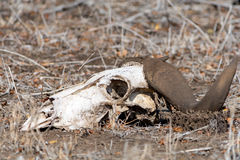 African Buffalo Skull at Kruger National Park, South Africa Stock Images