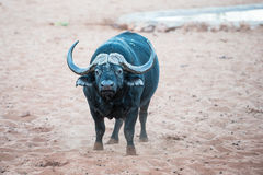 An African buffalo is smelling the air for signs of danger Royalty Free Stock Image