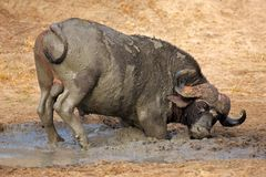 African buffalo, South Africa Stock Photography