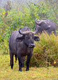 African Buffalo standing calmly on the grass Royalty Free Stock Photo