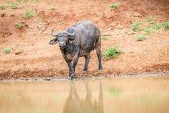 African buffalo starring at the camera. Stock Photos