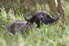 African buffalo. Suspicious looks from plants Royalty Free Stock Images