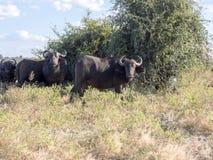 African Buffalo, Syncerus c.caffer, Chobe National Park, Botswana. The African Buffalo, Syncerus c.caffer, Chobe National Park, Botswana stock photography