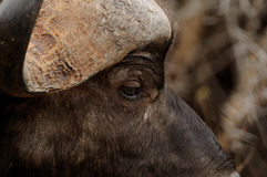 African Buffalo (Syncerus Caffer). The african buffalo is one of the Big Five of South Africa. You can call it also affalo, nyati, mbogo or cape buffalo Royalty Free Stock Image