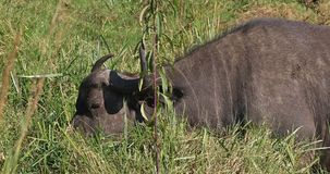 African Buffalo, syncerus caffer, Adult eating Grass, Nairobi Park in Kenya, Real Time. 4K stock footage