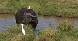 African Buffalo, syncerus caffer, adult eating grass at Waterhole, Cattle Egret, bubulcus ibis, Nairobi Park in Kenya, Real Time. 4K stock video