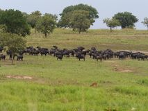 African buffalo, Syncerus caffer. Group on grass, Uganda, August 2018 royalty free stock image