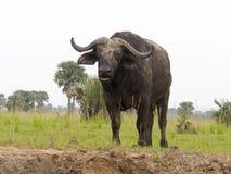 African buffalo, Syncerus caffer. Single mammal on grass, Uganda, August 2018 stock photography