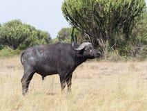 African buffalo, Syncerus caffer. Single mammal on grass, Uganda, August 2018 stock photo
