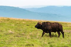 African buffalo or Syncerus caffer browsing in savannah. African buffalo or Syncerus caffer walks in African savanna stock photo