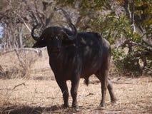 African buffalo. (Syncerus caffer caffer) in Botswana Stock Photography