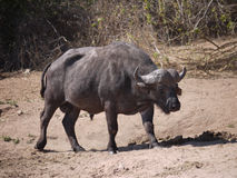 African buffalo. (Syncerus caffer caffer) in Botswana Royalty Free Stock Photography