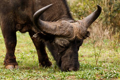 African Buffalo Syncerus caffer. The African buffalo or Cape buffalo is a large African bovine. It is not closely related to the slightly larger wild water Royalty Free Stock Images