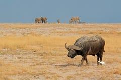 African buffalo Stock Image