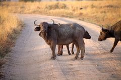 African buffalo (Syncerus caffer) Royalty Free Stock Image