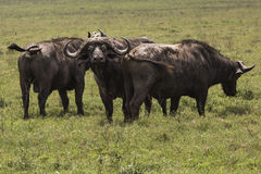 African buffalo (Syncerus caffer) on the grass. The photo was ta Royalty Free Stock Photo