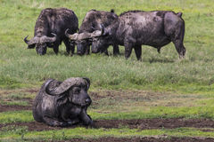 African buffalo (Syncerus caffer) on the grass. The photo was ta Royalty Free Stock Photography