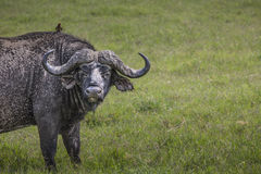 African buffalo (Syncerus caffer) on the grass. The photo was ta Royalty Free Stock Image