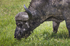 African buffalo (Syncerus caffer) on the grass. The photo was ta Stock Photography