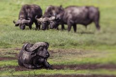 African buffalo Syncerus caffer on the grass. The photo was ta Royalty Free Stock Photography