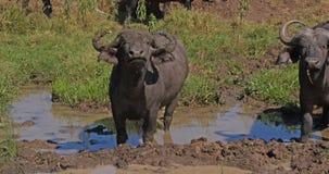 African Buffalo, syncerus caffer, having mud bath, Nairobi Park in Kenya, Real Time. 4K stock video footage