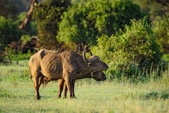 African Buffalo - Syncerus caffer, Kenya, Africa. African Buffalo in savanna, Kenya, Africa Royalty Free Stock Photo