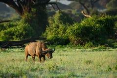 African Buffalo - Syncerus caffer, Kenya, Africa. African Buffalo in savanna, Kenya, Africa stock photo