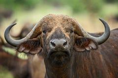 African Buffalo - Syncerus caffer, Kenya, Africa. African Buffalo in savanna, Kenya, Africa royalty free stock images