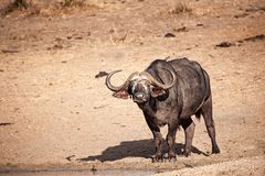 African Buffalo (Syncerus caffer). The African buffalo (Syncerus caffer) is one of the most successful grazers in Africa. It lives in swamps, floodplains as well Royalty Free Stock Photos
