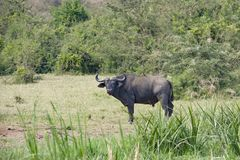 African buffalo with oxpecker on back in landscape of Queen Elizabeth Park, Uganda Stock Photo