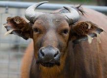 African Buffalo Syncerus Caffer Stock Image