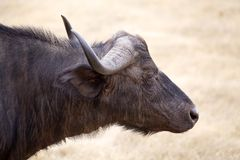 African buffalo (Syncerus caffer). Portrait in the african savanna stock images