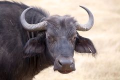 African buffalo (Syncerus caffer). Portrait in the african savanna royalty free stock photo