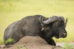 African Buffalo (Syncerus caffer) with Red-billed Oxpecker (Buph. Old African Buffalo bull (Syncerus caffer) with Red-billed Oxpecker (Buphagus erythrorhynchus Stock Photo